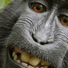 Monkey Cannot Own Copyright To Viral Selfie, Says Federal Judge