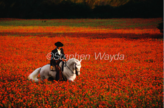 Poppy-field-wayda