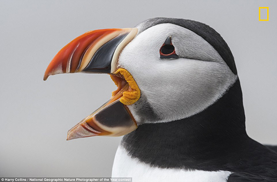 Puffin_by_Harry_Collins_568