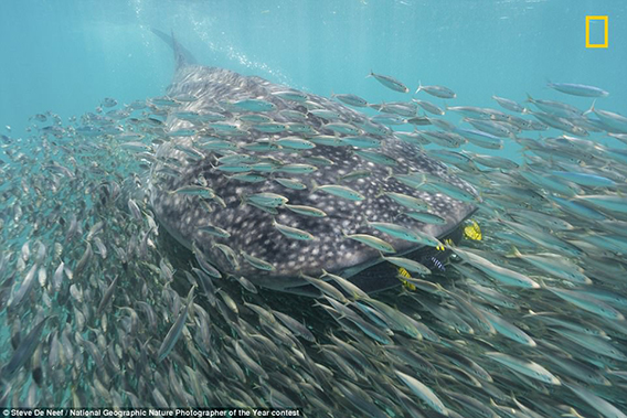 Whale_Shark_and_Anchovies_by_Steve_De_Neef_568